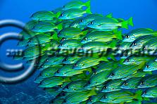 Bluestripe Snapper, Lutjanus kasmira, Molokai Hawaii (Steven W SMeltzer)