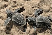Loggerhead turtle (Caretta caretta) | Unechte Karettschildkröte (Caretta caretta) | Unechte Karettschildkröte (Caretta caretta) (Solvin Zankl)