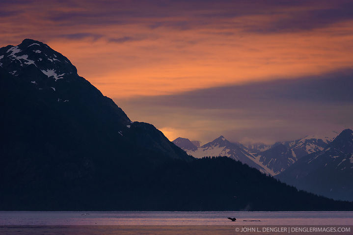 A humpback whale dives in the Sitakaday Narrows of the main bay of Glacier Bay National Park and Preserve in this view at sunset seen from Young Island located in the Beardslee Islands of the park in southeast Alaska. In the near background is Marble Mountain and in the far background is Mt. Abdallah. (John L. Dengler)