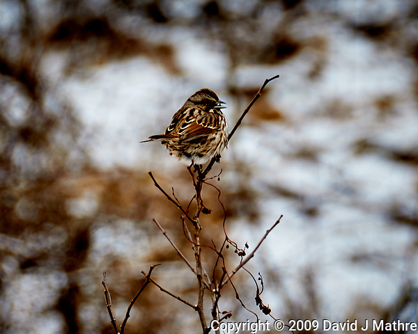 White-throated Sparrow on a bush at the Sourland Mountain Preserve. Image taken with a Nikon D300 camera and 18-200 mm VR lens (ISO 200, 200 mm, f/5.6, 1/50 sec). (David J Mathre)