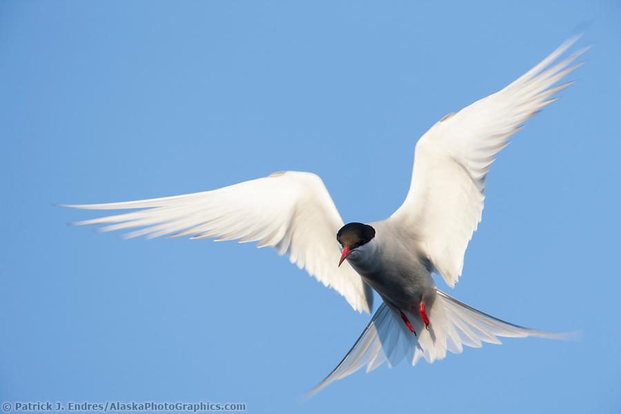 Alaska bird photos: Arctic tern hovering in flight, Alaska Range, Interior, Alaska. (Patrick J Endres / AlaskaPhotoGraphics.com)