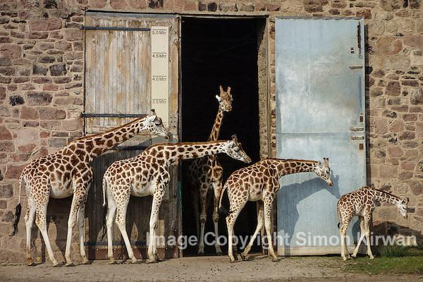Rothschild Giraffes Chester Zoo - Photo By Simon Kirwan