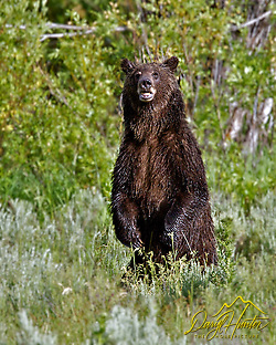 Grizzly Bear 610, Standing, Grand Teton National Park (Daryl Hunter's &quot;The Hole Picture&quot;  Daryl L. Hunter has been photographing the Yellowstone Region since 1987, when he packed up his view camera, Pentex 6X7, and his 35mms and headed to Jackson Hole Wyoming. Besides selling photography Daryl also publ)