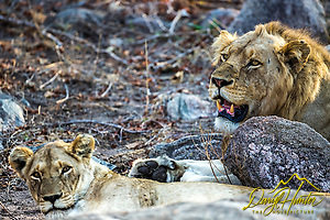 Mating pair of African lions in Kruger National Park of South Africa (Daryl L. Hunter)
