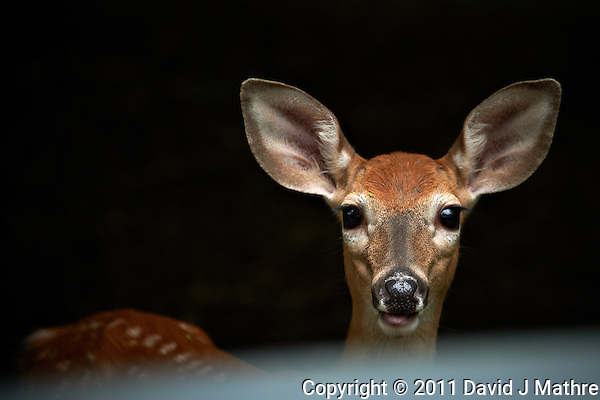 Inquisitive Fawn From Across My Car Hood. Backyard Nature in my Backyard -- Summer in New Jersey. Image taken with a Nikon D700 and 28-300 mm lens (ISO 280, 300 mm, f/5.6, 1/60 sec). Raw image processed with Capture One Pro 6, Nik Define 2, and Photoshop CS5. (David J Mathre)