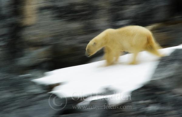 Polar Bear in Spitsbergen, Svalbard (Ole Jørgen Liodden)
