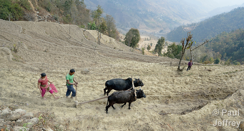 In the mountain village of Marpak, in Nepal's Dhading District, farmers plow and seed their terraced fields as the rainy season approaches. (Paul Jeffrey)