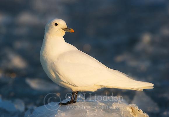 Ivory Gull (Pagophila eburnea) in Svalbard (Ole Jørgen Liodden)