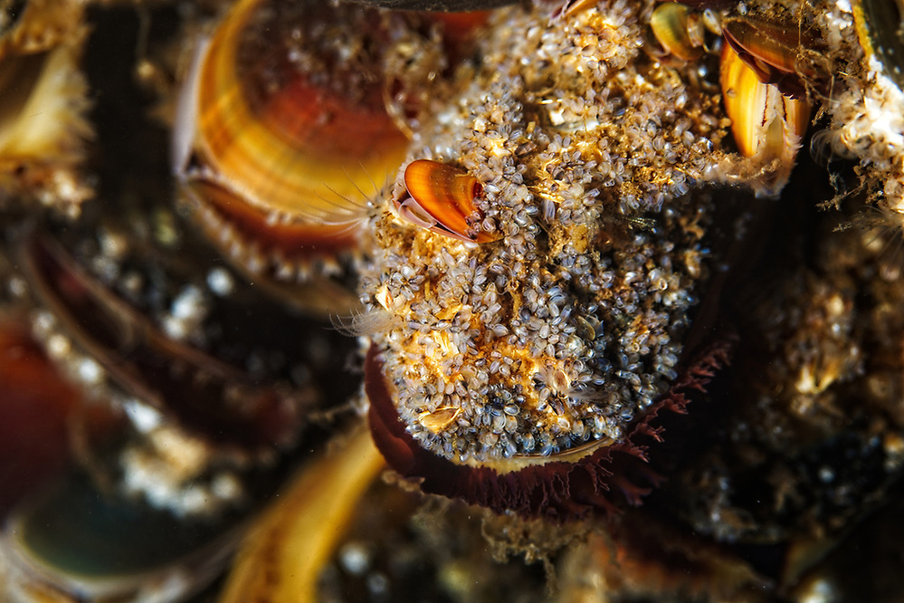 Young mussels covered by acorn barnacles and further small mussels. 2020 Image from the Below the Skye Line project. Photographer: Gill Williams Post Production: Geraint Ashton Jones https://www.belowtheskyeline.com (Below the Skye Line / © Gill Williams & © Geraint Ashton Jones)