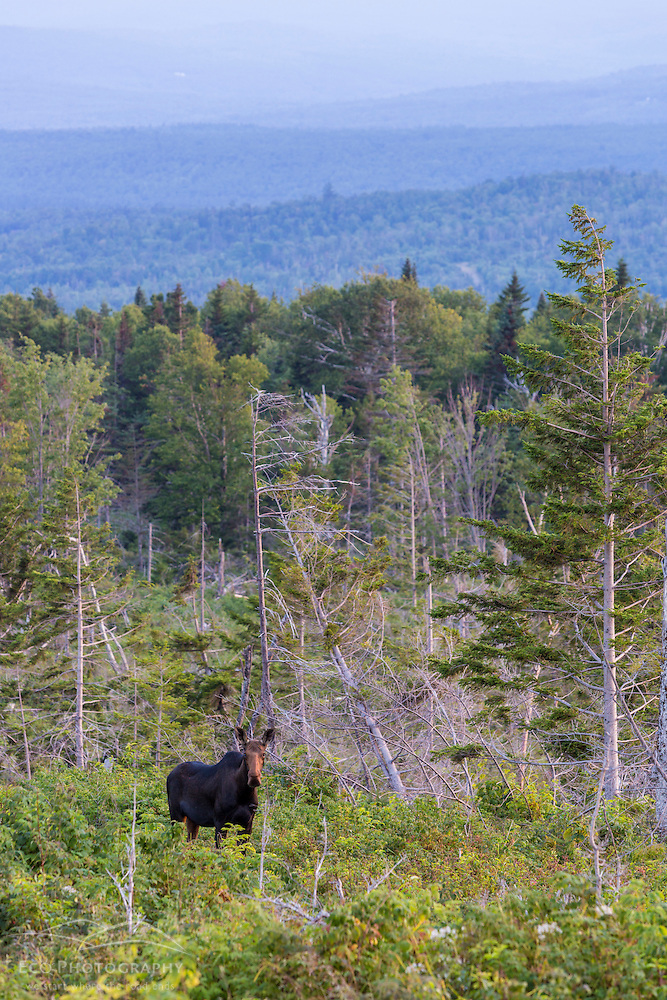 Cow moose, Alces alces, on the lower slopes of Mount Abraham, Maine. High Peaks region. (Jerry and Marcy Monkman)