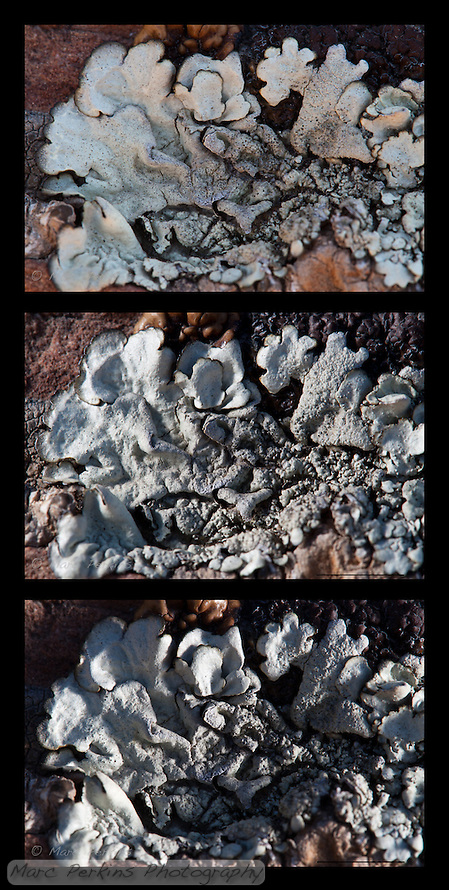 Three images of the same lichen lit differently.  The top image is the base lighting (diffuse shade).  The middle image has sunlight reflected onto the lichen from the left, and the bottom image has light reflected onto the lichen from the right.   A brown-fringed gray foliose lichen overgrowing at least three other morphologies of lichen on a rock.  I believe the primary lichen has numerous isidia (small finger-like structures protruding from the thallus).  My best guess is that this is in _Physcia_, but I'm not sure.  This lichen was found in Vasquez Rocks County Park in Los Angeles County. The scale bar is 5mm (contact me if you want a version of the image without the scale bar). (20110816-untitled shoot-IMG_2912.CR2: © 2011 Marc Perkins.20110816-untitled shoot-IMG_2911.psd: © 2011 Marc Perkins.20110816-untitled shoot-IMG_2907.psd: © 2011 Marc Perkins.)
