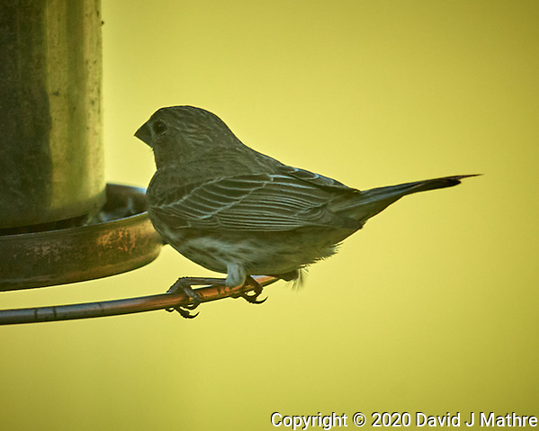 House Finch. Image taken with a Nikon D5 camera and 600 mm f/4 VR lens (DAVID J MATHRE)