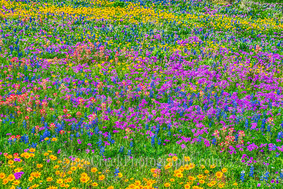 Texas Wildflowe landscape D80 7300 Photos from Texas   Field of wild flowers Nothing but color