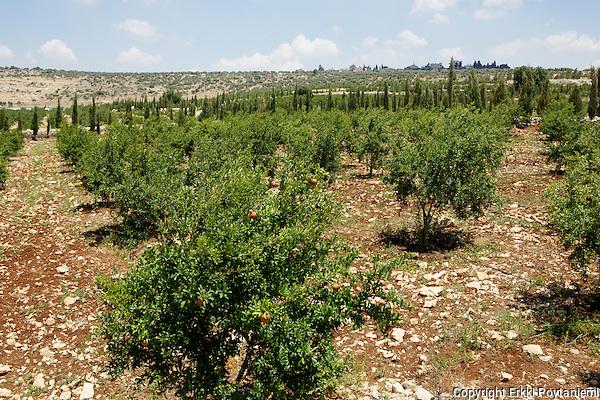 Pomegranate grove. (Erkki Poytaniemi)