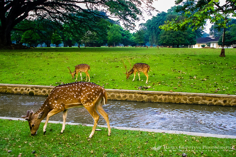 Indonesia, Java, Bogor. Istana Bogor is one of 6 Presidential Palaces in Indonesia. A herd of spotted deer can be seen inside the walls. (Photo Bjorn Grotting)