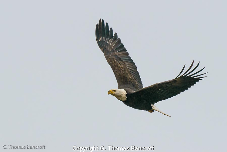 The Bald Eagle suddenly turned hard to its left and crossed in front of us.  We could see the power of its flight and its expression appeared almost serious.  Mud seemed to be on its bill and its eyes looked straight forward.  Its body arched as it sharply banked in the turn. (G. Thomas Bancroft)