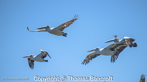 The Australian pelicans rose on steady and strong wingbeats from the shore of the lake, circled overhead before settling back to the water of the lake. (G. Thomas Bancroft)