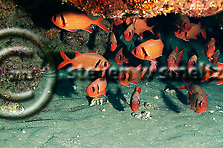 Bigscale Soldierfish, Myripristis berndti, Jordan & Evermann, 1903, Maui Hawaii (Steven W SMeltzer)