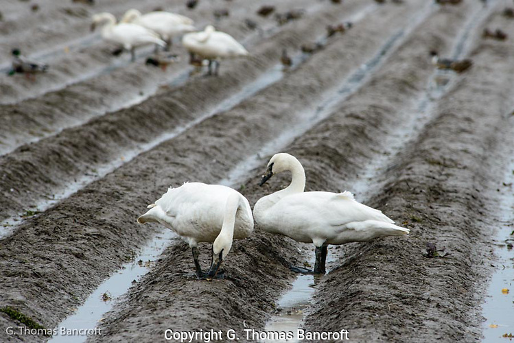 A pair of Trumpeter Swans pause in the fallow field. (G. Thomas Bancroft)