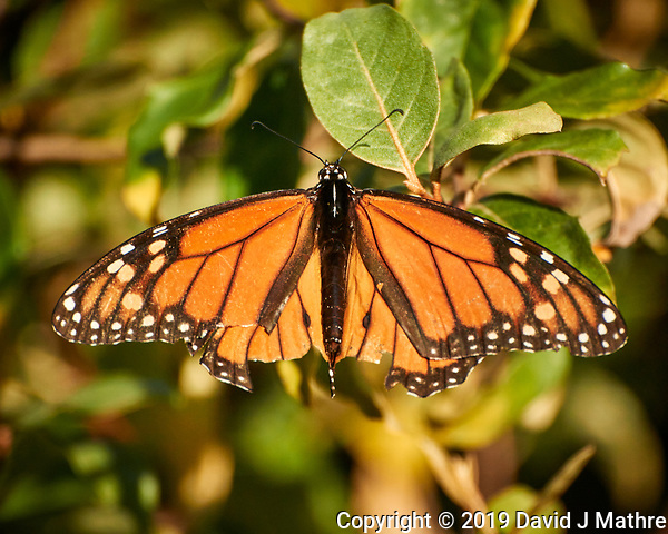 Monarch Butterfly. Image taken with a Nikon 1 V3 camera and 70-300 mm VR lens (ISO 400, 300 mm, f/5.6, 1/1000 sec) (DAVID J MATHRE)