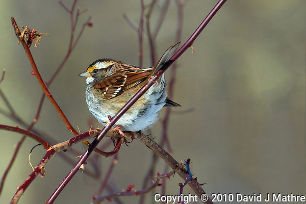 White-throated Sparrow trying to keep warm. Nikon D3s and 70-200 mm VRII with TC-E 20 teleconverter (ISO 200, 400mm f/8, 1/640 sec) (David J Mathre)