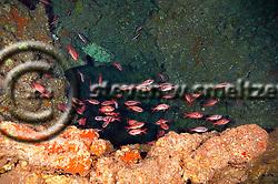 Brick Soldierfish, Myripristis amaena, (Castelnau, 1873), Lanai Hawaii (Steven W SMeltzer)