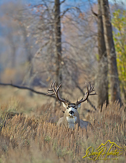"Monster, Mule Deer, Buck, Grand Teton National Park, Jackson Hole, Wyoming, trophy, big, (Daryl Hunter's ""The Hole Picture"" • Daryl L. Hunter has been photographing the Yellowstone Region since 1987, when he packed up his view camera, Pentex 6X7, and his 35mm's and headed to Jackson Hole Wyoming. Besides selling photography Daryl also publ)"