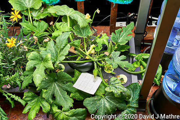 AeroGarden Farm 05-Right. Zucchini Plants (88 days). Image taken with a Leica TL-2 camera and 35 mm f/1.4 lens (ISO 400, 35 mm, f/8, 1/30 sec). (DAVID J MATHRE)