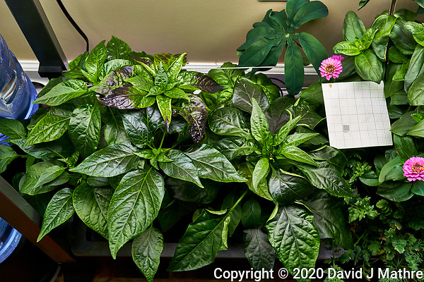 AeroGarden Farm 03, Left. Pepper Plants (122 days). Image taken with a Leica TL-2 camera and 35 mm f/1.4 lens (ISO 400, 35 mm, f/8, 1/30 sec). (DAVID J MATHRE)