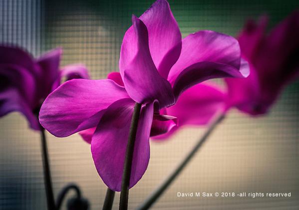 7.9.18 - Pretty In Purple.... (© David M Sax 2018 - all rights reserved)
