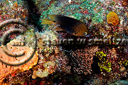 Threespot Damselfish, Stegastes planifrons, (Cuvier, 1830), Grand Cayman (StevenWSmeltzer.com)