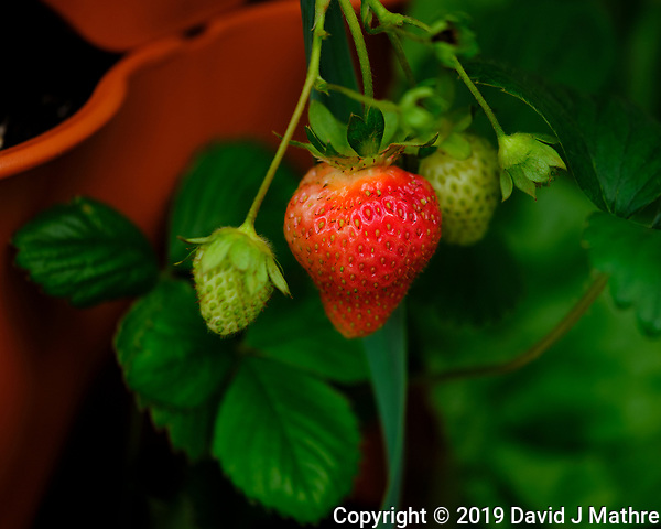 Strawberry. Image taken with a Fuji X-H1 camera and 80 mm f/2.8 macro lens (DAVID J MATHRE)