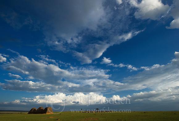 Cattle near Masai Mara (Ole Jørgen Liodden)