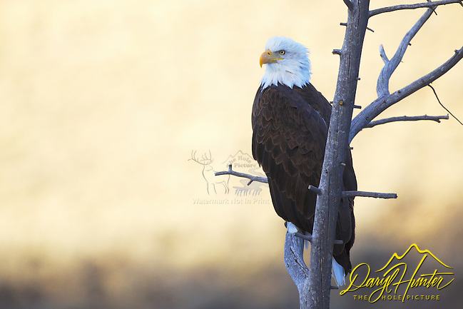 "Perched Bald Eagle portrait, Jackson Hole, Wyoming (© Daryl Hunter's ""The Hole Picture""/Daryl L. Hunter)"