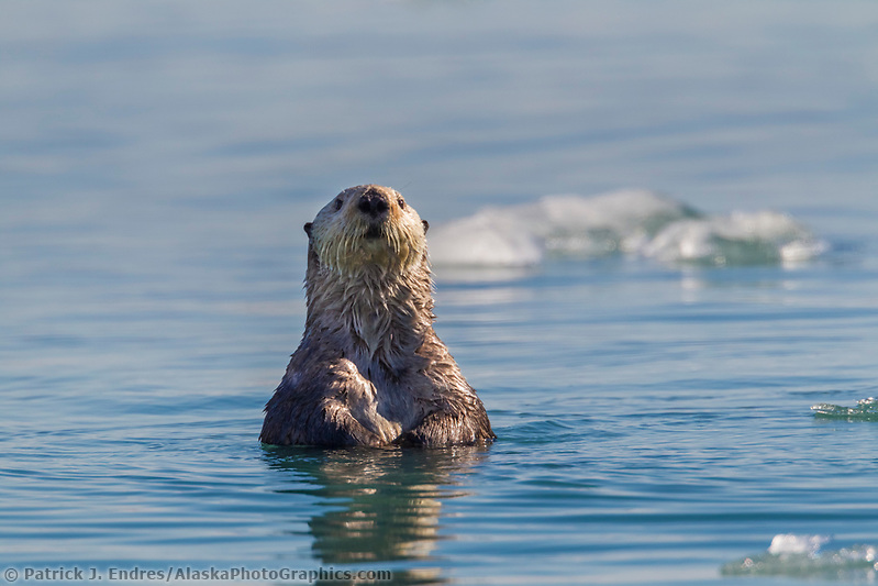 A curious sea otter raises its head from the water to get a better look while swimming in Nellie Juan Lagoon, Prince William Sound, southcentral, Alaska. (Patrick J. Endres / AlaskaPhotoGraphics.com)