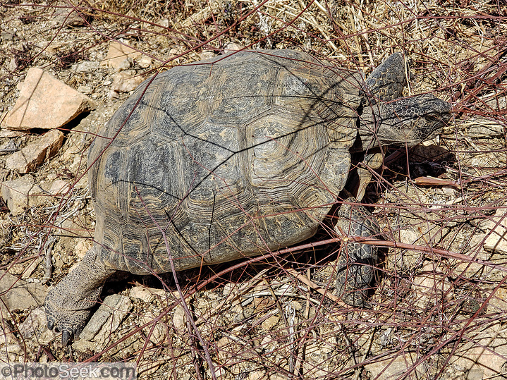 Desert tortoise. 49 Palms Oasis Trail. Joshua Tree National Park, near the City of Twentynine Palms, California, USA. The park straddles the cactus-dotted Colorado Desert and the Mojave Desert, which is higher and cooler. (© Carol Dempsey / PhotoSeek.com)