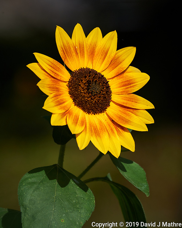 Sunflower. Image taken with a Nikon D5 camera and 80-400 mm VRII lens (ISO 110, 400 mm, f/8, 1/800 sec). (DAVID J MATHRE)