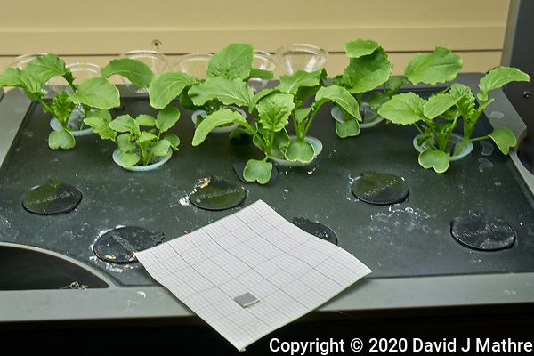 AeroGarden Farm 08-Right. Positions 01-12 Broccoli Raab at 12 days. Image taken with a Leica TL-2 camera and 35 mm f/1.4 lens (ISO 100, 35 mm, f/8, 1/30 sec). (DAVID J MATHRE)