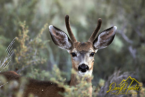 Mule Deer, buck, spike, portrait