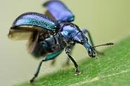 Weevil (Byctiscus betulae) | Der Rebstecher oder Rebstichler (Byctiscus betulae) gehört zu der riesigen Gruppe der vierflügeligen Insekten. Das vordere Flügelpaar ist zu harten Deckflügeln ausgebildet. Vor dem Starl klappt sie der Käfer beiseite um die darunter geschützt liegenden häutigen Flügel auszuklappen. Die Mundwerkzeuge, mit denen der Käfer Blätter zerbeißen kann, sitzen an der Spitze des rüsselartig verlängerten Kopfes. (Solvin Zankl)