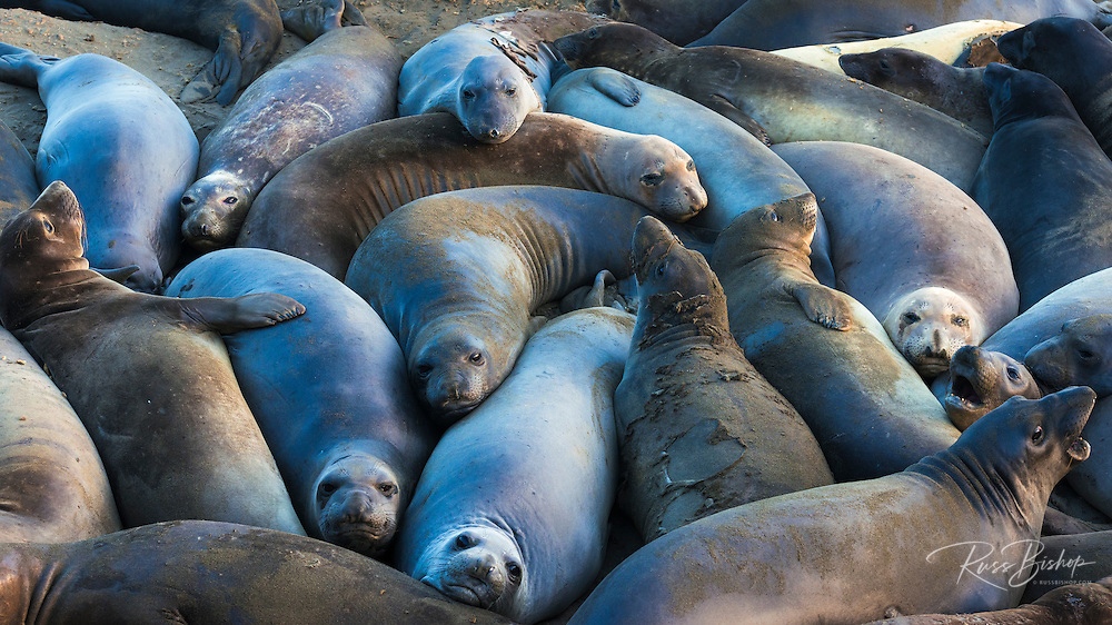 Northern elephant seals at Piedras Blancas, San Simeon, California