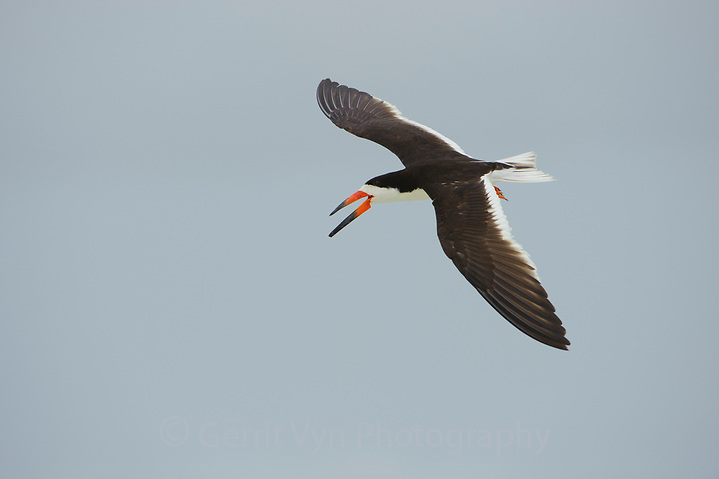 Adult Black Skimmer (Rynchops niger ) in flight. Gulf Islands National Seashore, Florida. June. (Gerrit Vyn)