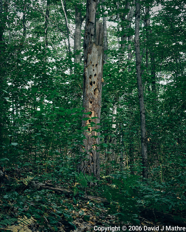 Woodpecker Tree in Mackinaw State Forest. Image taken with a Nikon D200 camera and 18-75 mm kit lens. (David J Mathre)