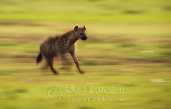 Spotted Hyena (Crocuta crocuta) in Masai Mara (Ole Jørgen Liodden)
