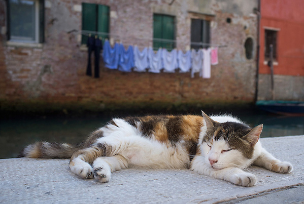 "VENICE, ITALY - AUGUST 27:  A stray car sleeps on the ""fondamenta"" on the edge of a canal on August 27, 2011 in Venice, Italy. Dingo is the Anglo-Venetian association part of the AISPA,  founded in 1965 by Helen Saunders and Elena Scapabolla and is devoted to the welfare of venetian stray cats. (Marco Secchi)"