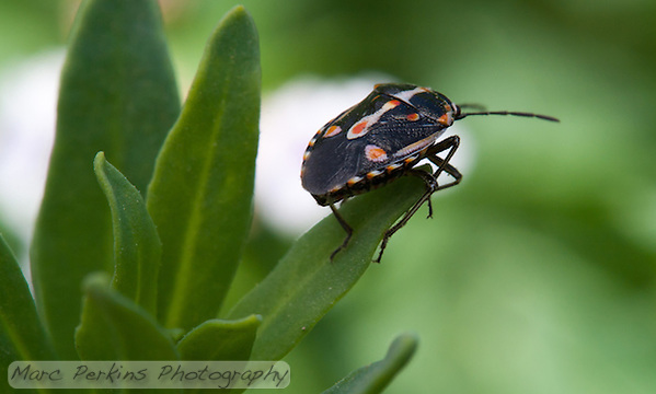 A black, orange, and white hemipteran (true bug) stands on the end of a green leaf looking away from the camera into the distance. (Marc C. Perkins)