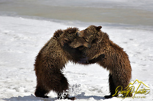 Grizzly Bear cubs appear to be dancing while they wrestle in Grand Teton Natonal Park.
