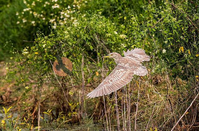 Juvenile Black-Crowned Night Heron taking off in flight in green flowering vegetation (SandraCalderbank, sandra calderbank)