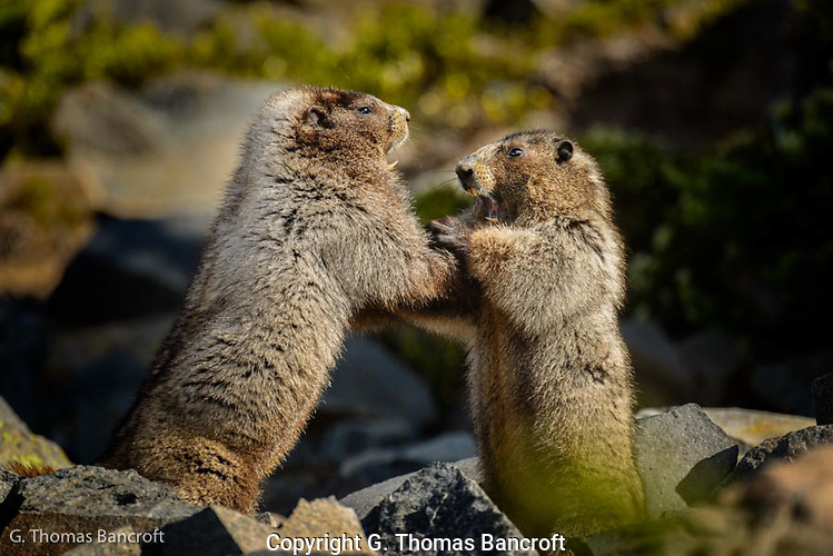 I discovered these two marmots in an intense wrestling match much like two puppies. (G. Thomas Bancroft)