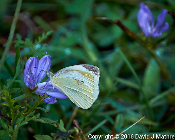 Cabbage White Butterfly on a Chicory Flower. Image taken with a Fuji X-T1 camera and 100-400 mm OIS lens. (David J Mathre)
